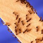 slim_ants