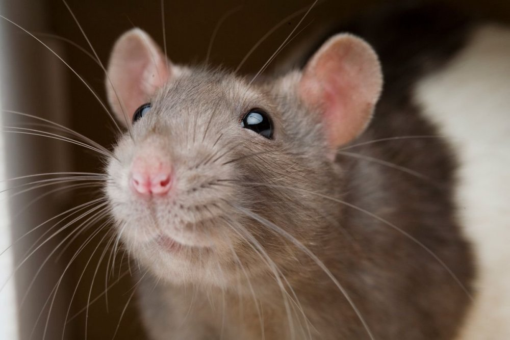 01-rat-friends-nationalgeographic_1162144.jpg